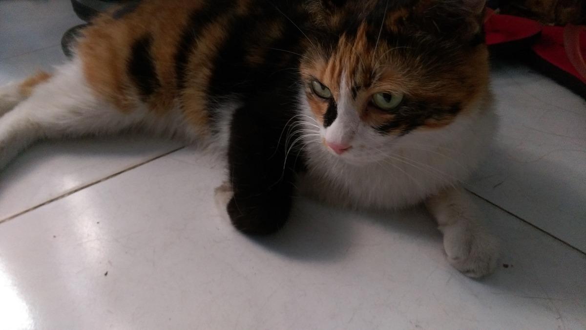 Hình ảnh đẹp và cute về mèo tam thể