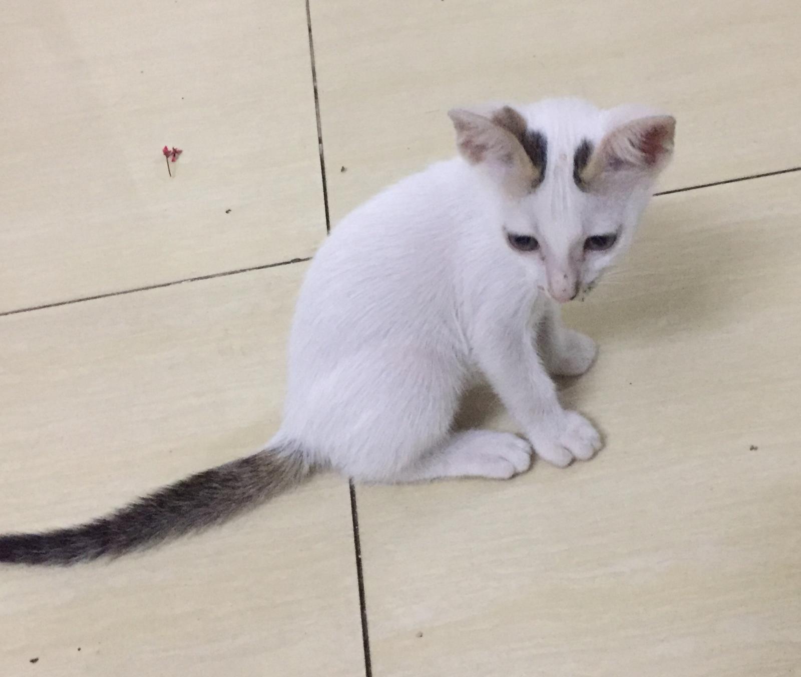 Hình ảnh mèo tam thể 2 tháng đẹp