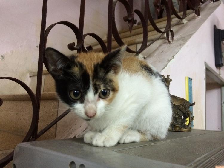 Hình ảnh mèo tam thể cực hiếm đẹp nhất