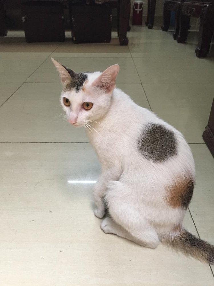 Hình ảnh mèo tam thể đực 3 tháng tuổi