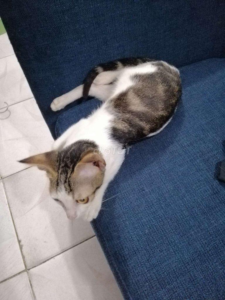 Hình ảnh mèo tam thể đực 5 tháng đẹp