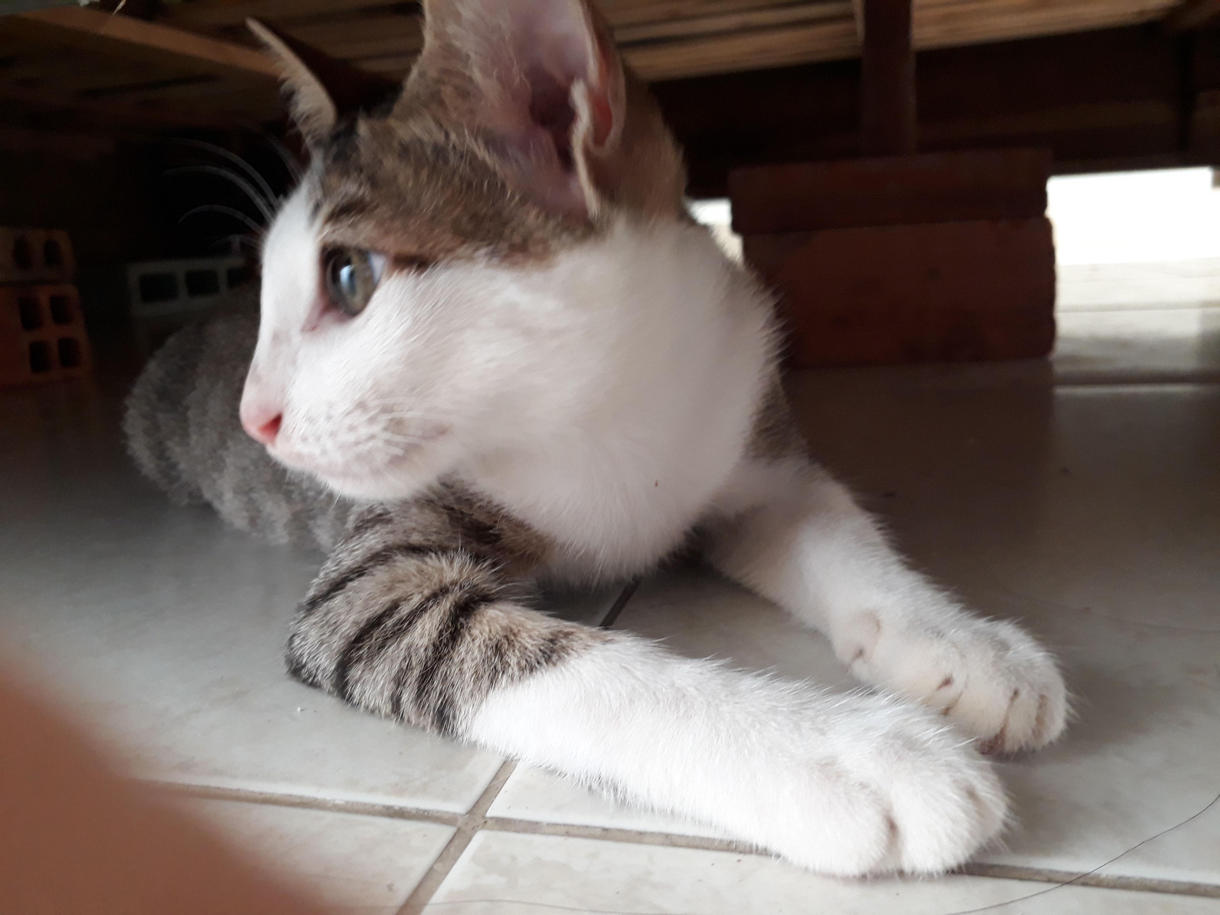 Hình ảnh mèo tam thể đực cute
