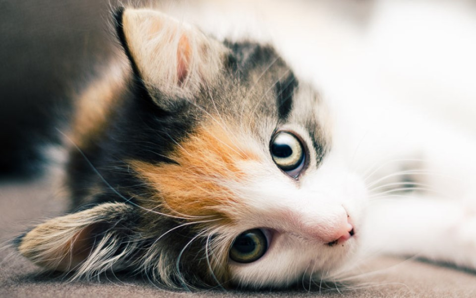 Hình ảnh những chú mèo tam thể đẹp