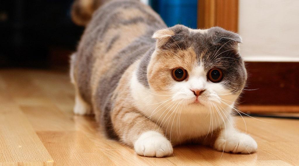 Mèo tam thể ảnh đẹp nhất