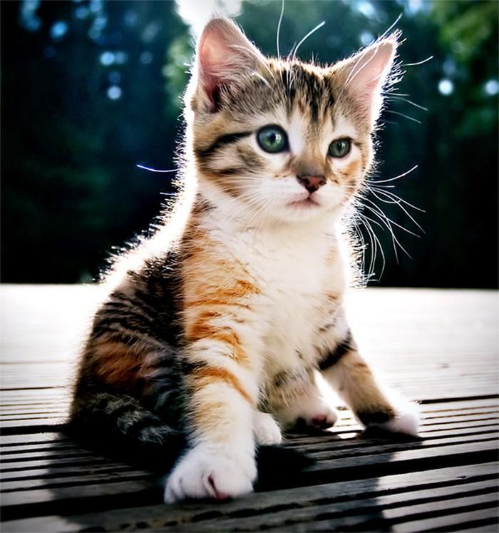 Mèo tam thể ảnh đẹp