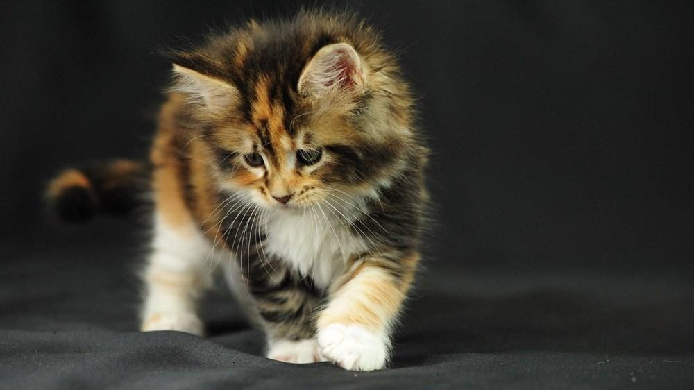 Mèo tam thể cái hình ảnh đẹp