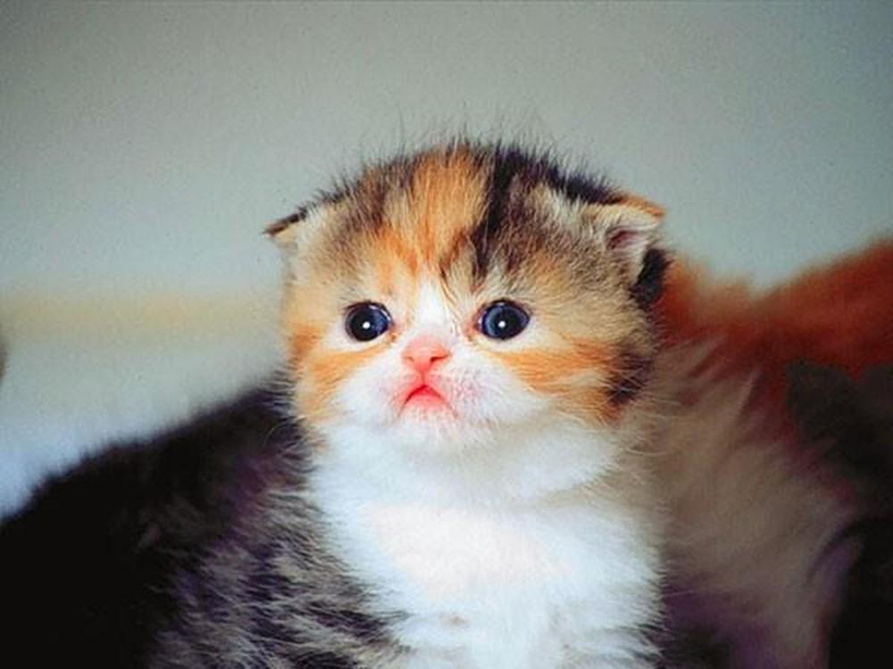 Mèo tam thể hình ảnh đẹp