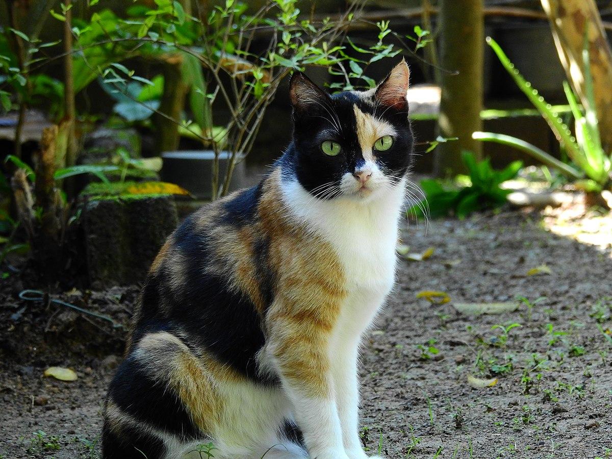Mèo tam thể trắng đen hình ảnh đẹp nhất