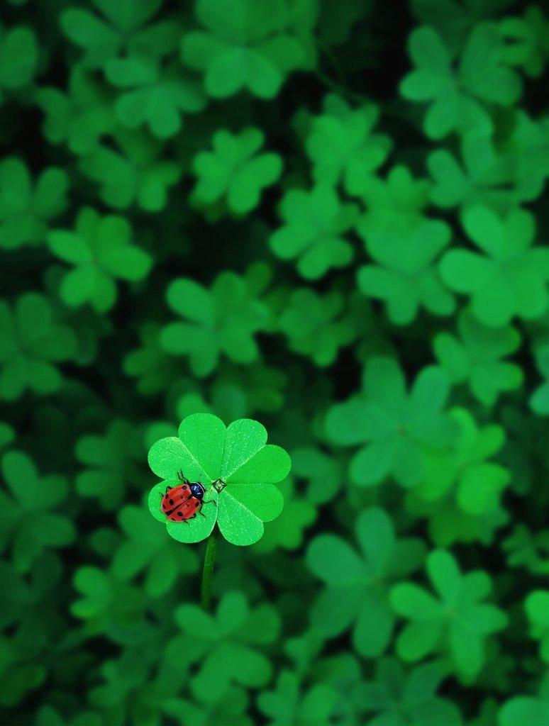 Hình ảnh cỏ 4 lá mang lại may mắn