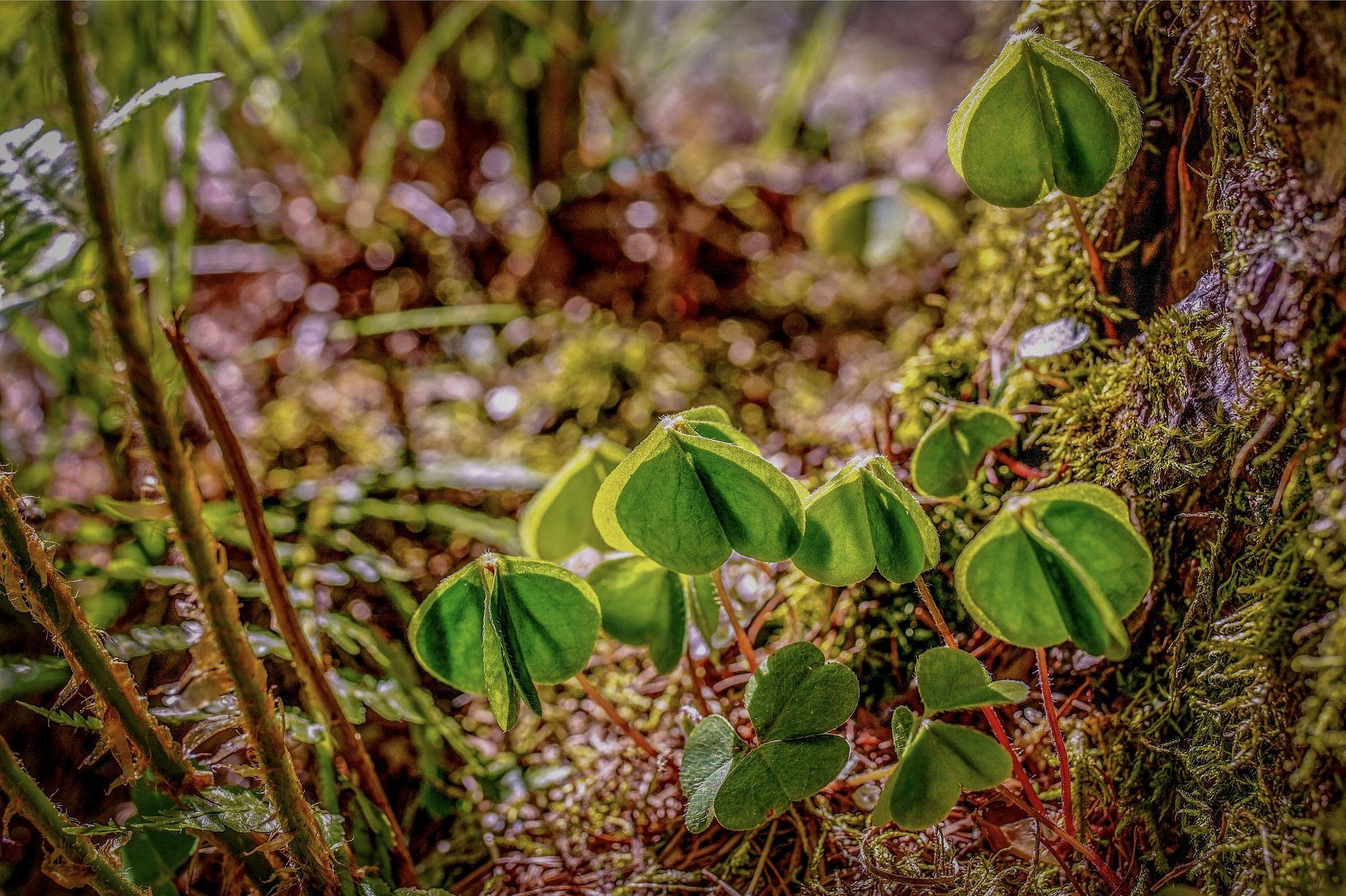 Hình ảnh cỏ 4 lá rừng