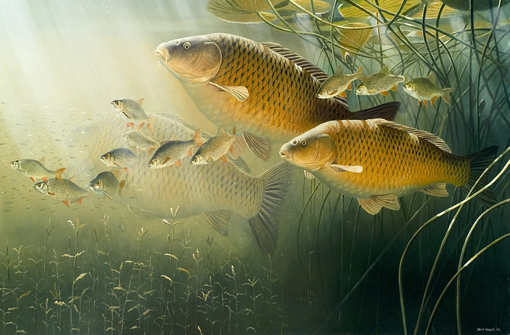 Hình nền cá chép bơi dưới nước đẹp nhất