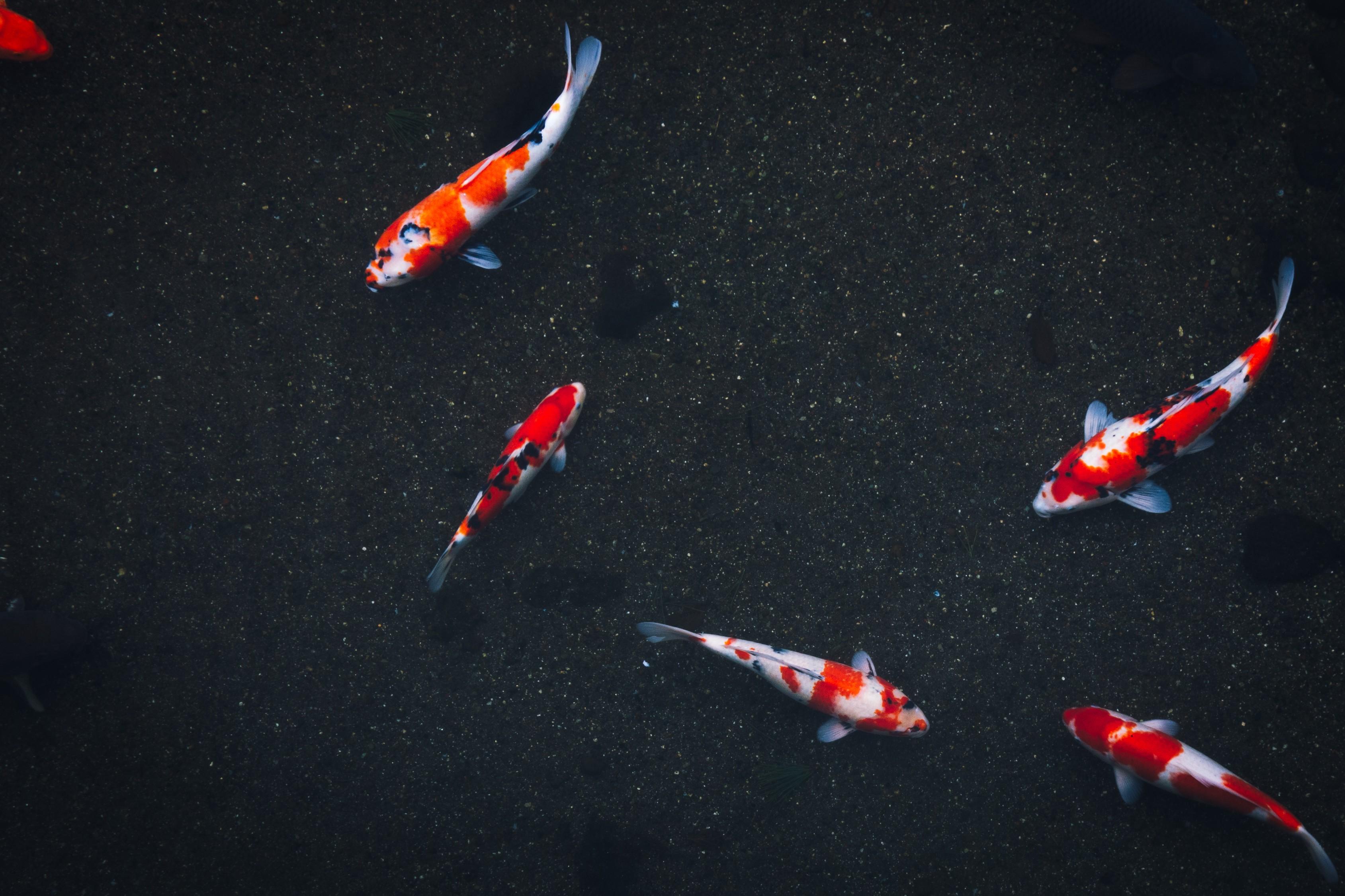 Hình nền cá chép đẹp hấp dẫn nhất