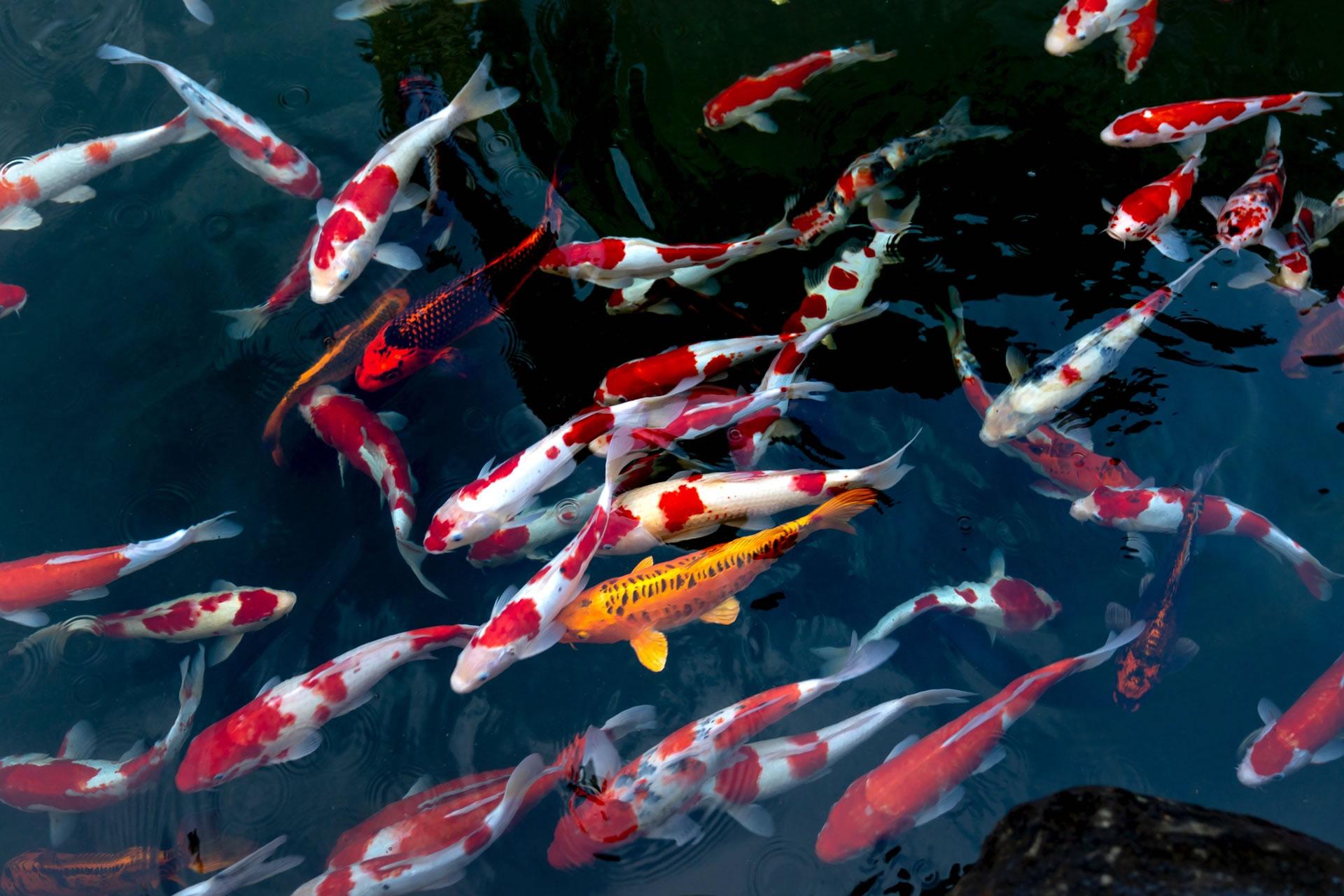 Hình nền cá chép Koi đẹp