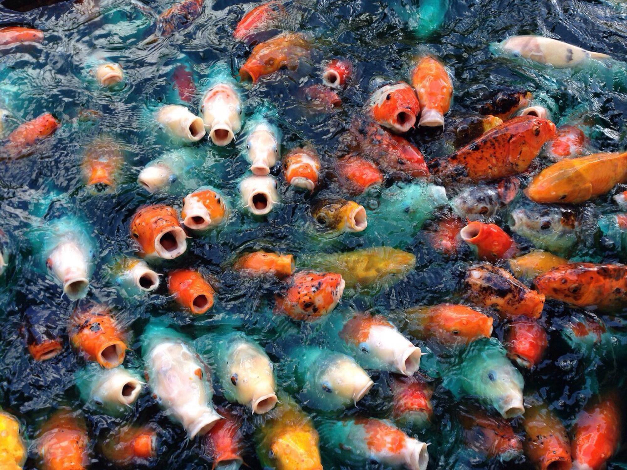 Hình nền cá chép ngoi lên mặt nước