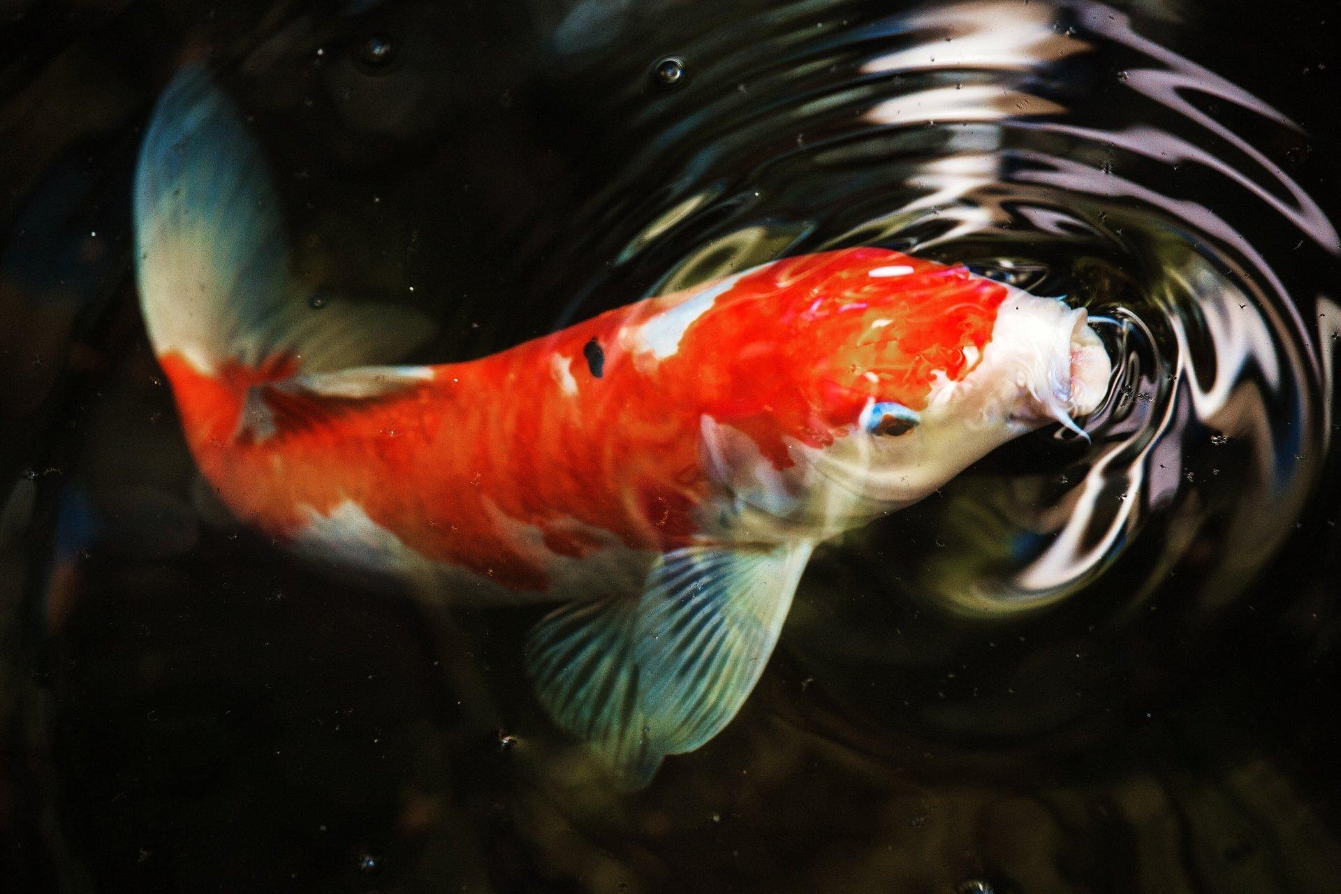 Hình nền cá chép ngớp nước
