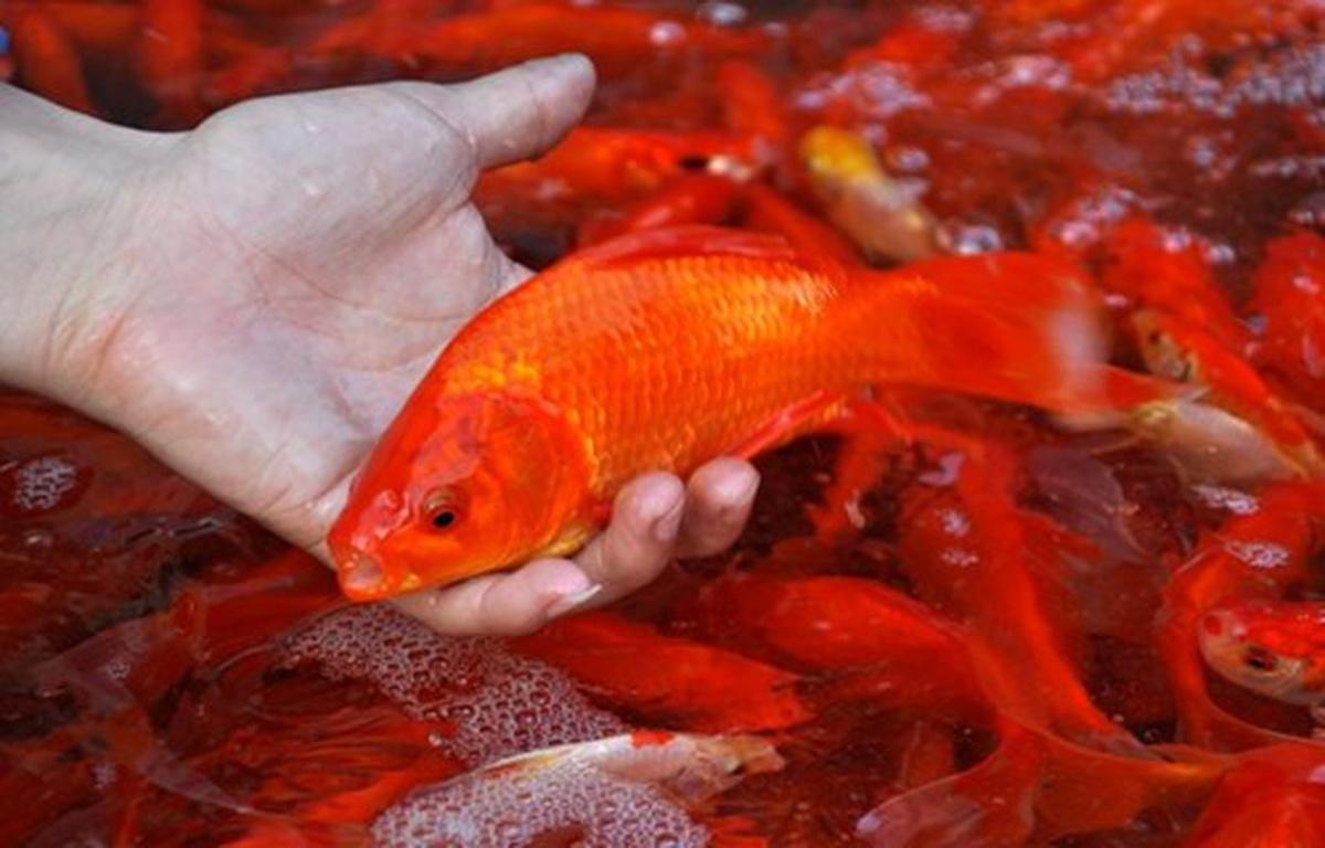 Hình nền cá chép vàng đẹp nhất