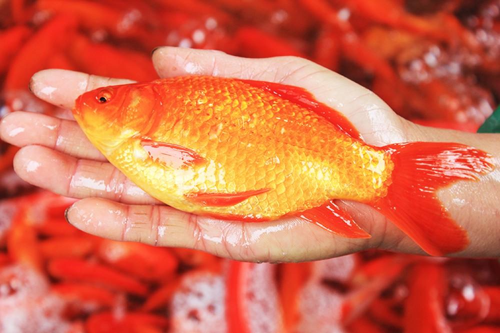 Hình nền cá chép vàng đẹp