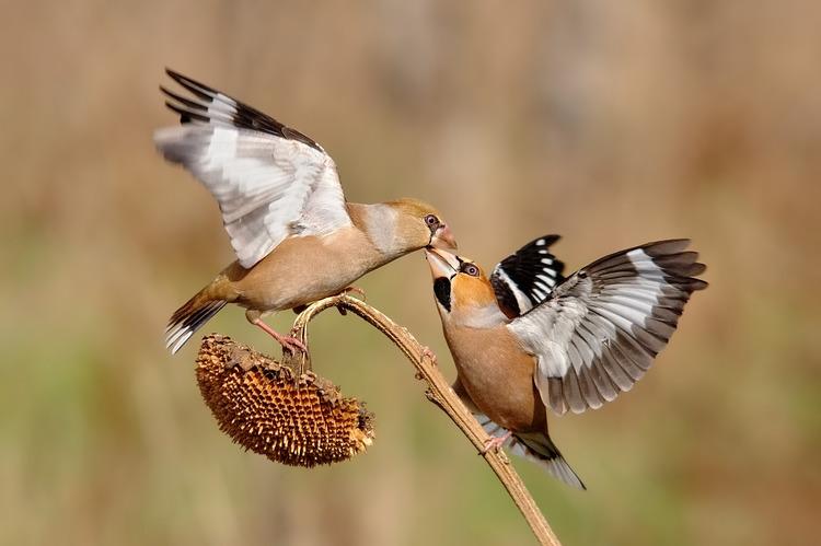Hình nền cặp chim trống mái đẹp