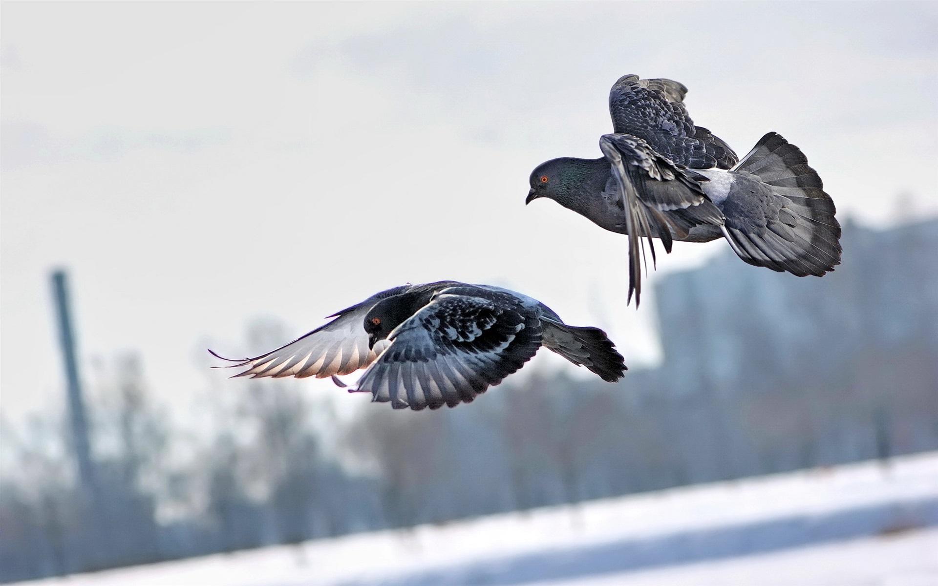 Hình nền chim bồ câu đang bay