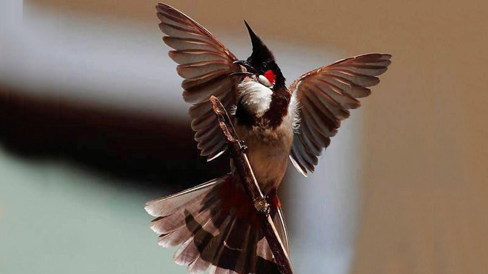 Hình nền chim chào mào hót