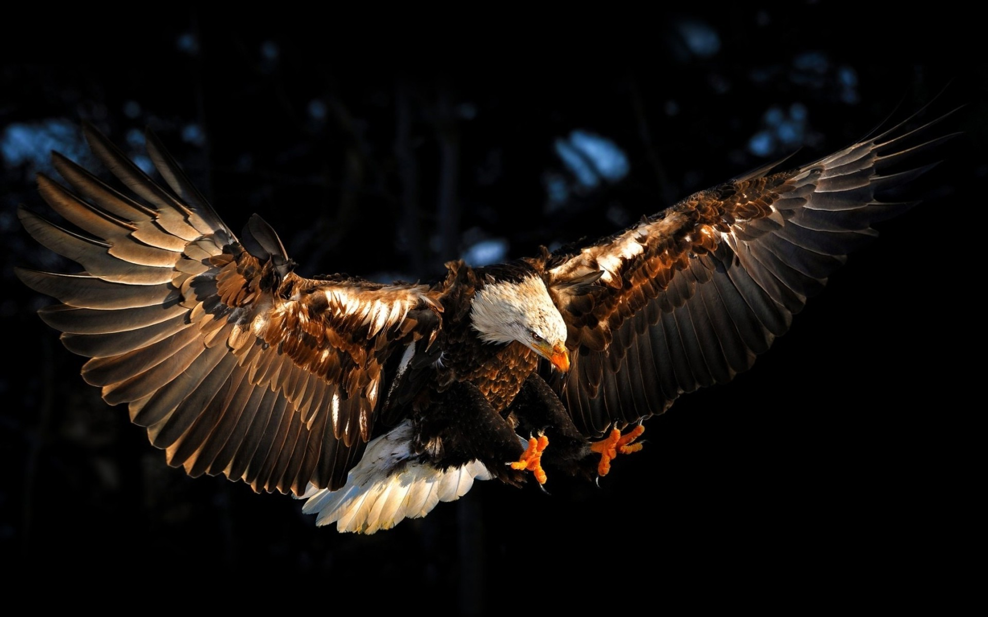Hình nền chim đại bàng sải cánh cực đẹp