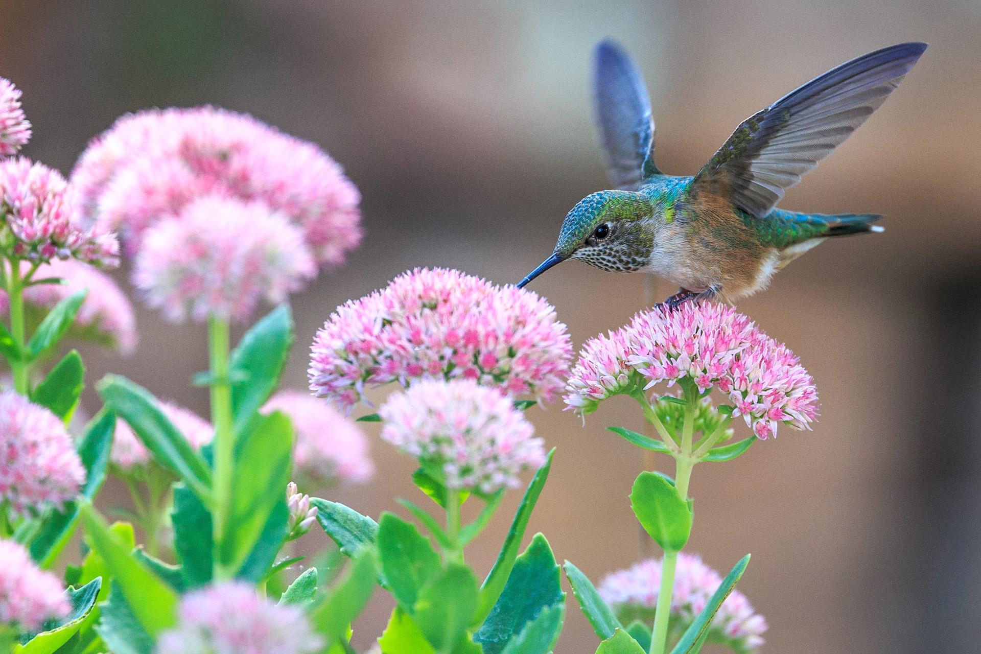 Hình nền chim hút mật đẹp