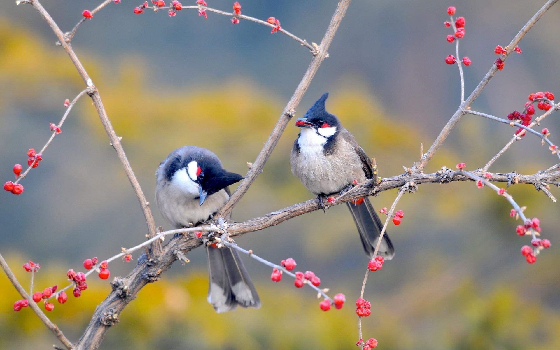 Hình nền chim mào đỏ