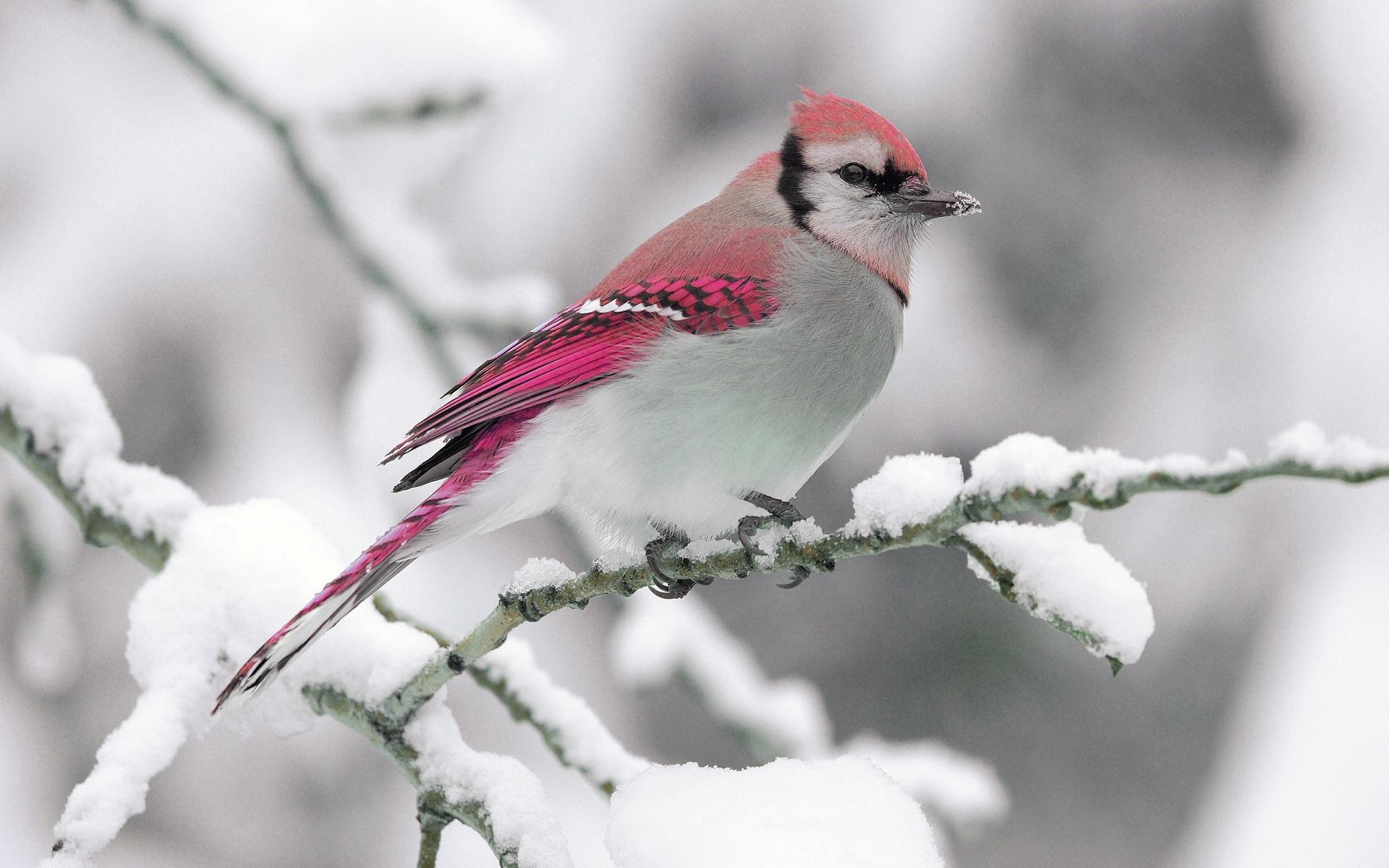Hình nền chú chim mùa đông đẹp