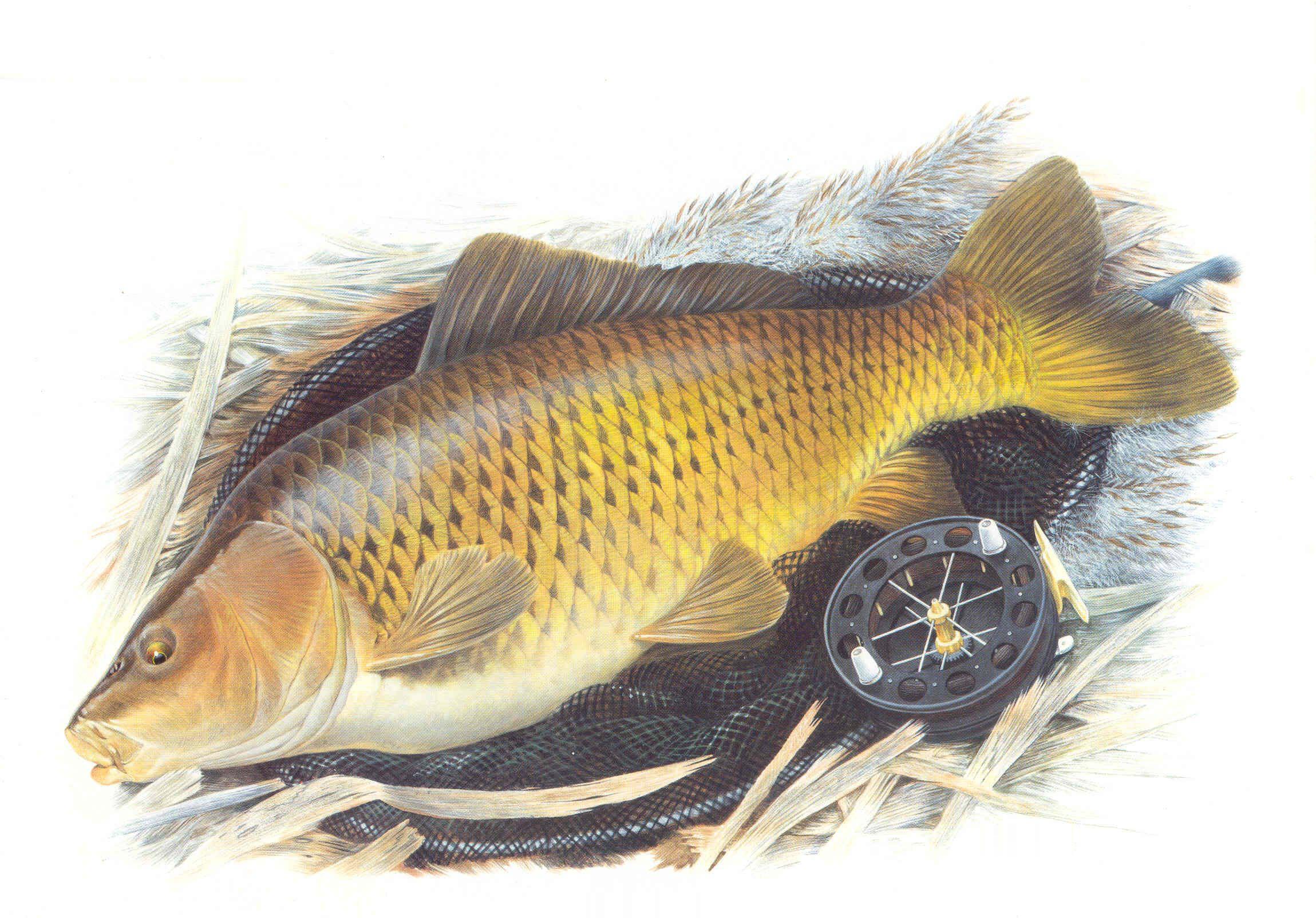 Hình nền con cá chép đẹp nhất