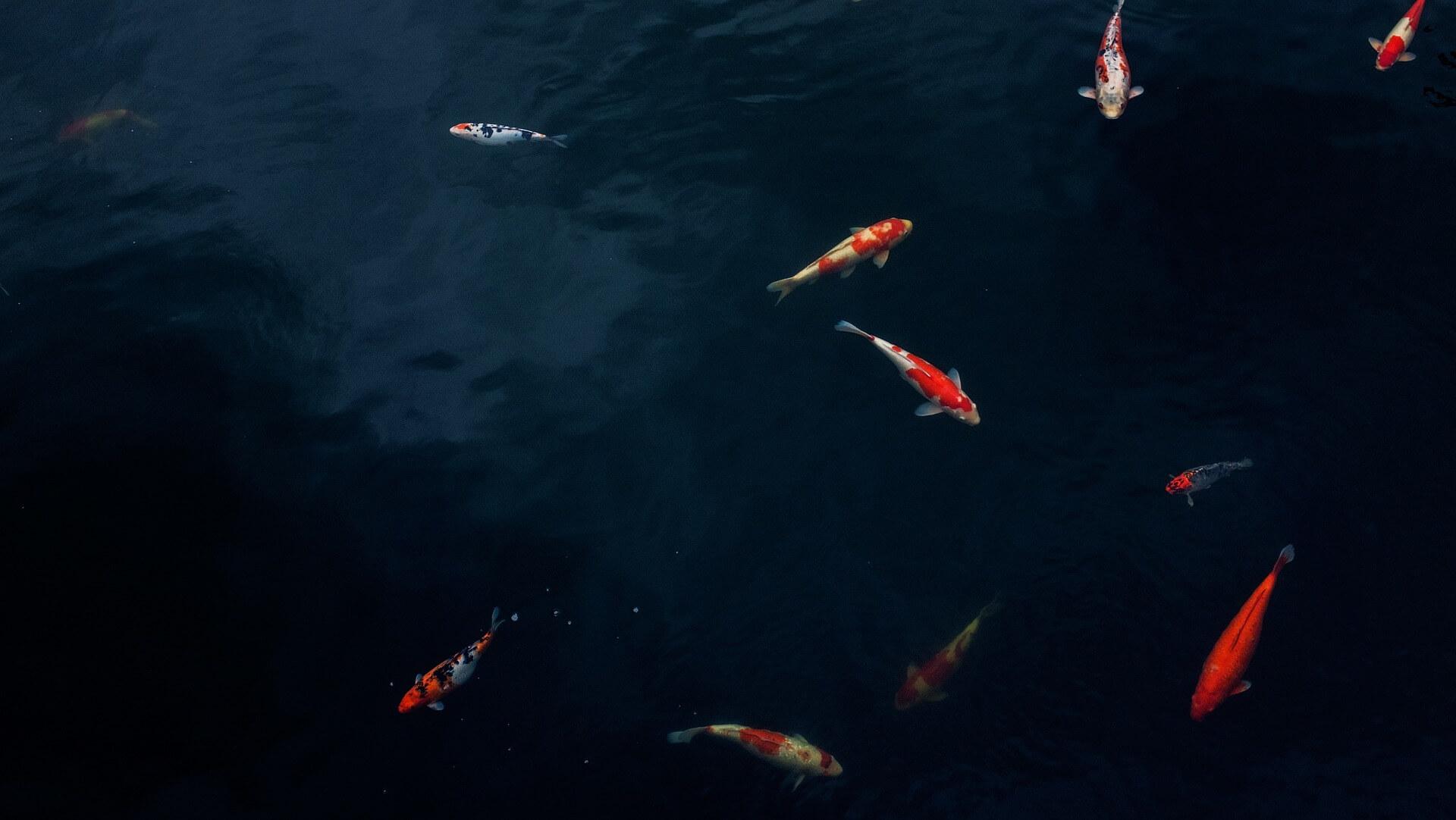 Hình nền con cá chép đẹp