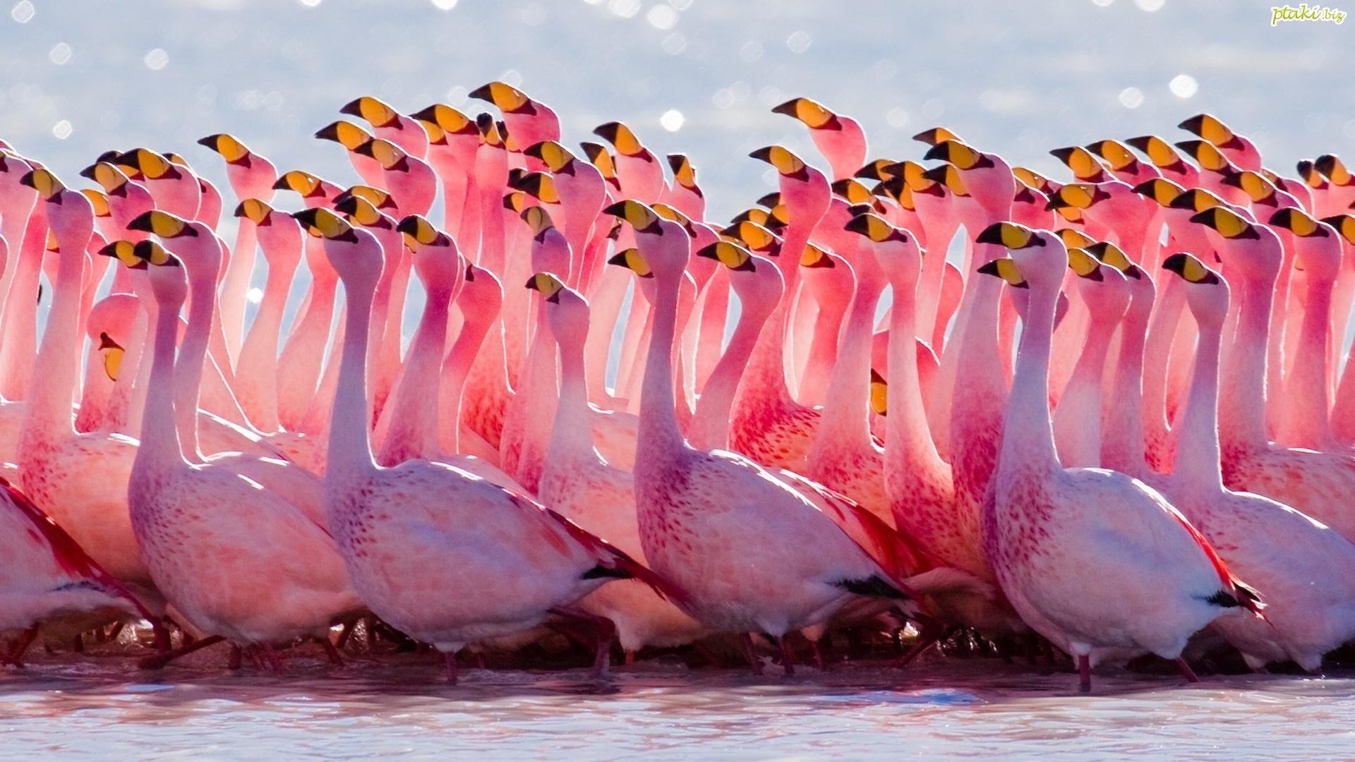 Hình nền đàn chim hồng hạc