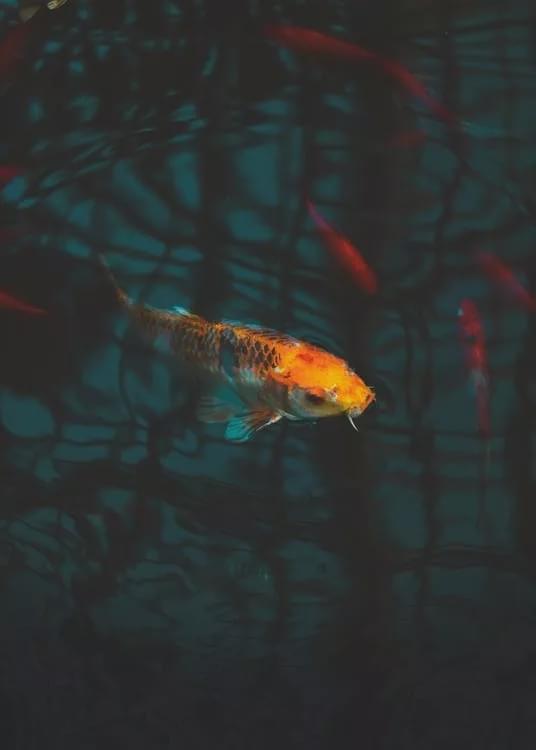Hình nền đẹp con cá chép tài lộc