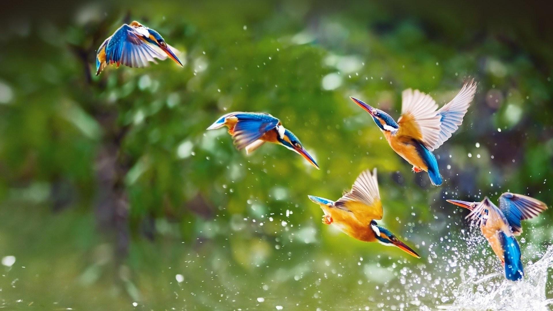 Hình nền tuyệt đẹp về loài chim bói cá