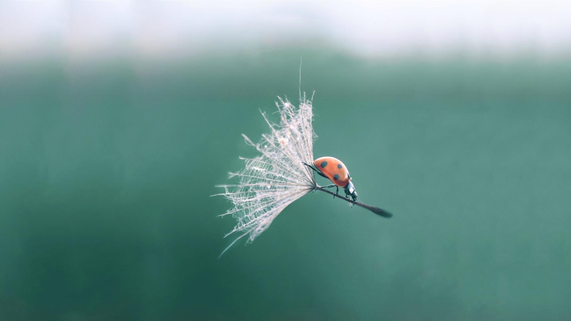 Ảnh nền hoa bồ công anh và bọ cánh cam
