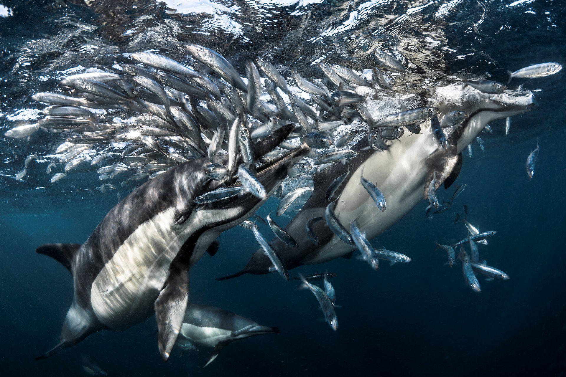 Hình ảnh cá heo đẹp, ngoạn mục dưới đáy đại dương