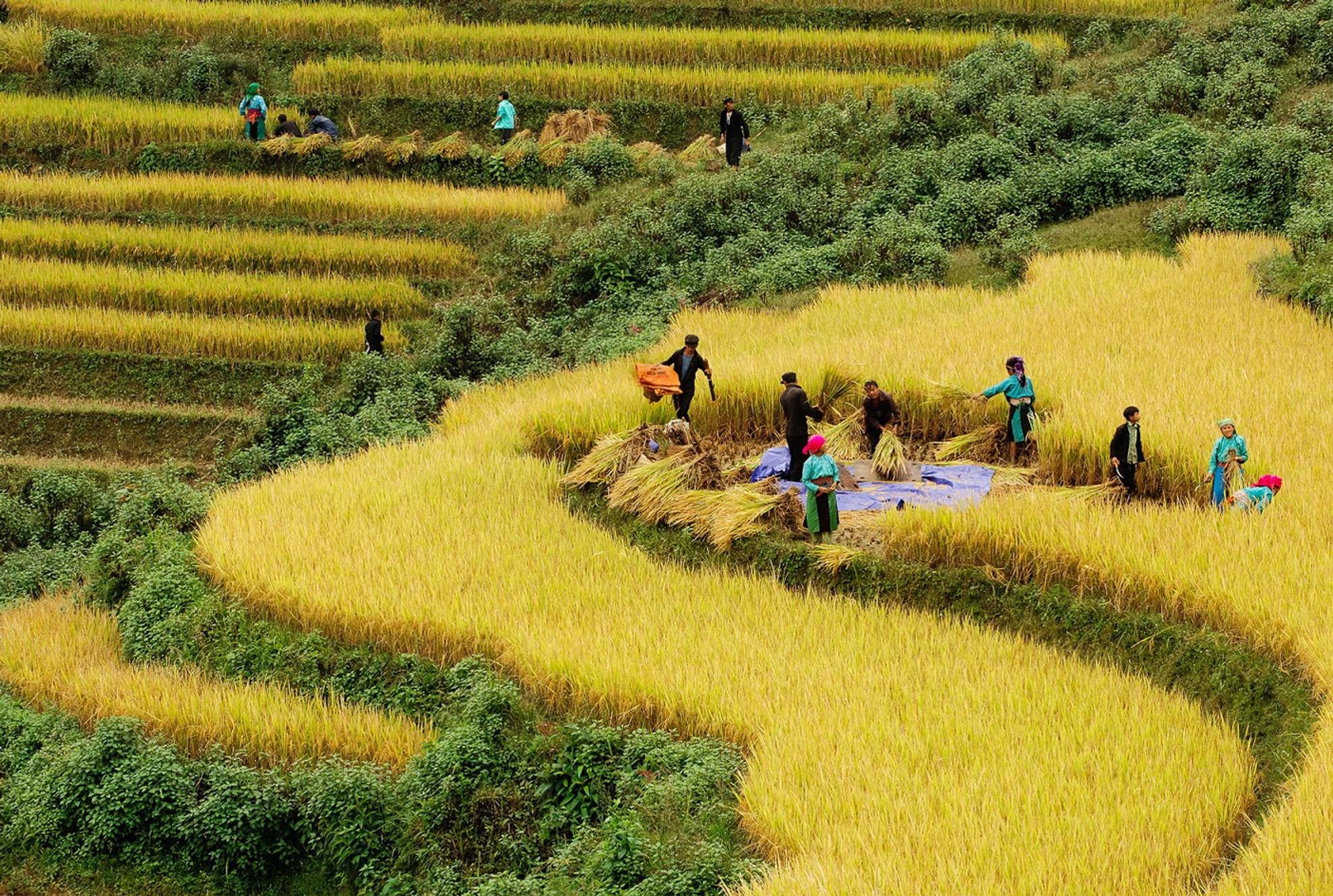 Hình ảnh ruộng bậc thang mùa thu hoạch