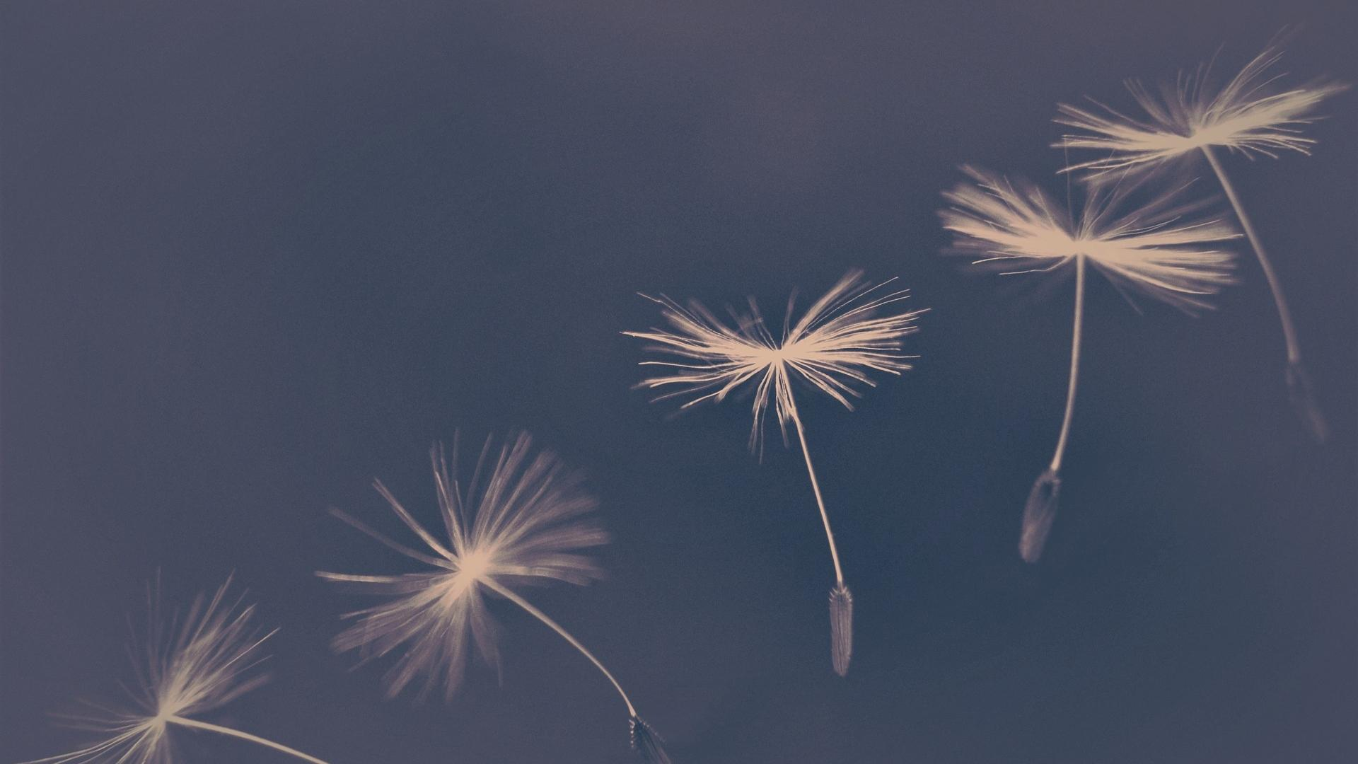 Hình nền hoa bồ công anh bay trong gió