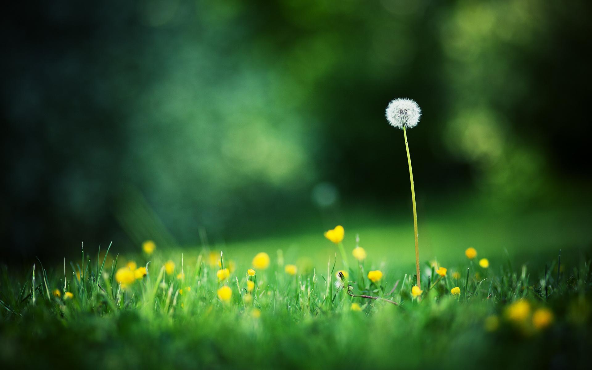 Hình nền hoa bồ công anh cực đẹp