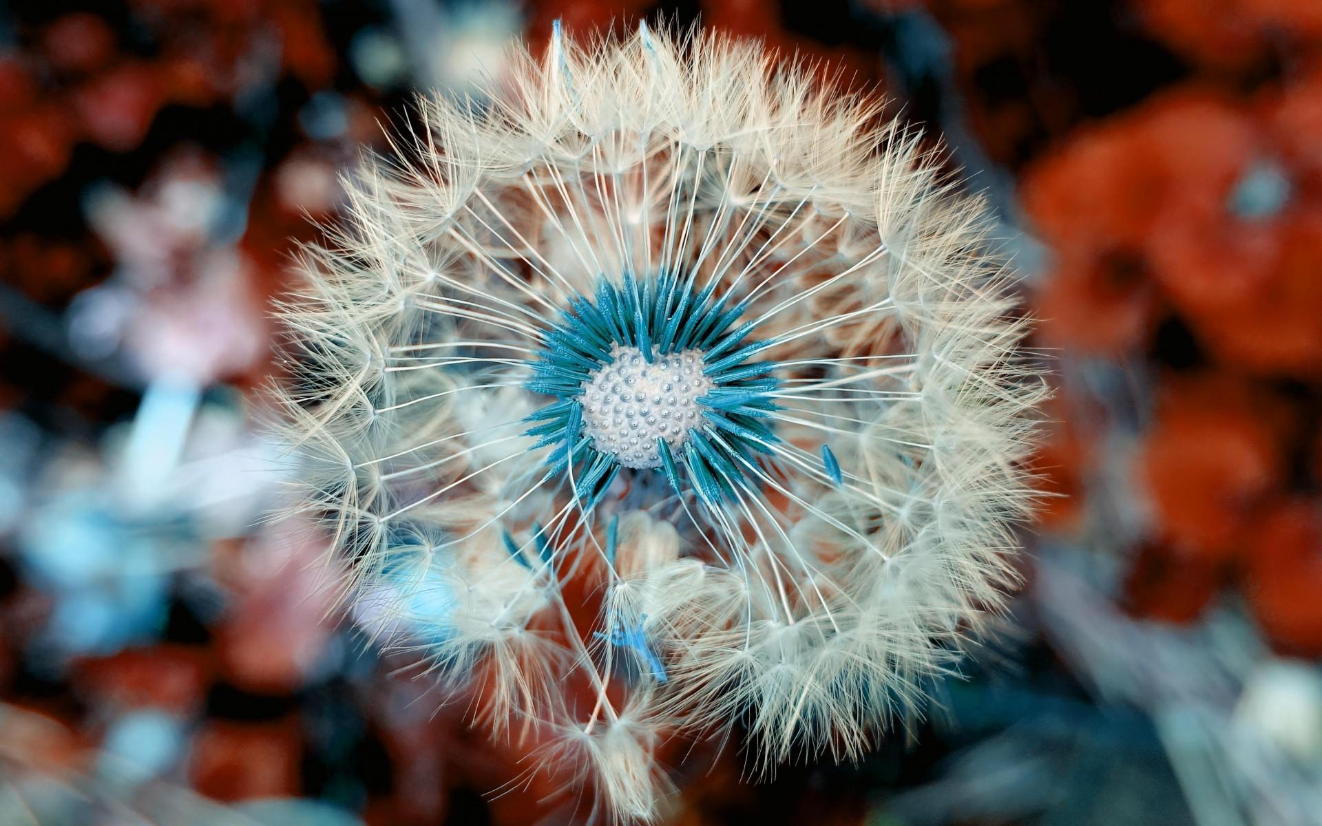 Hình nền hoa bồ công anh đẹp, độc