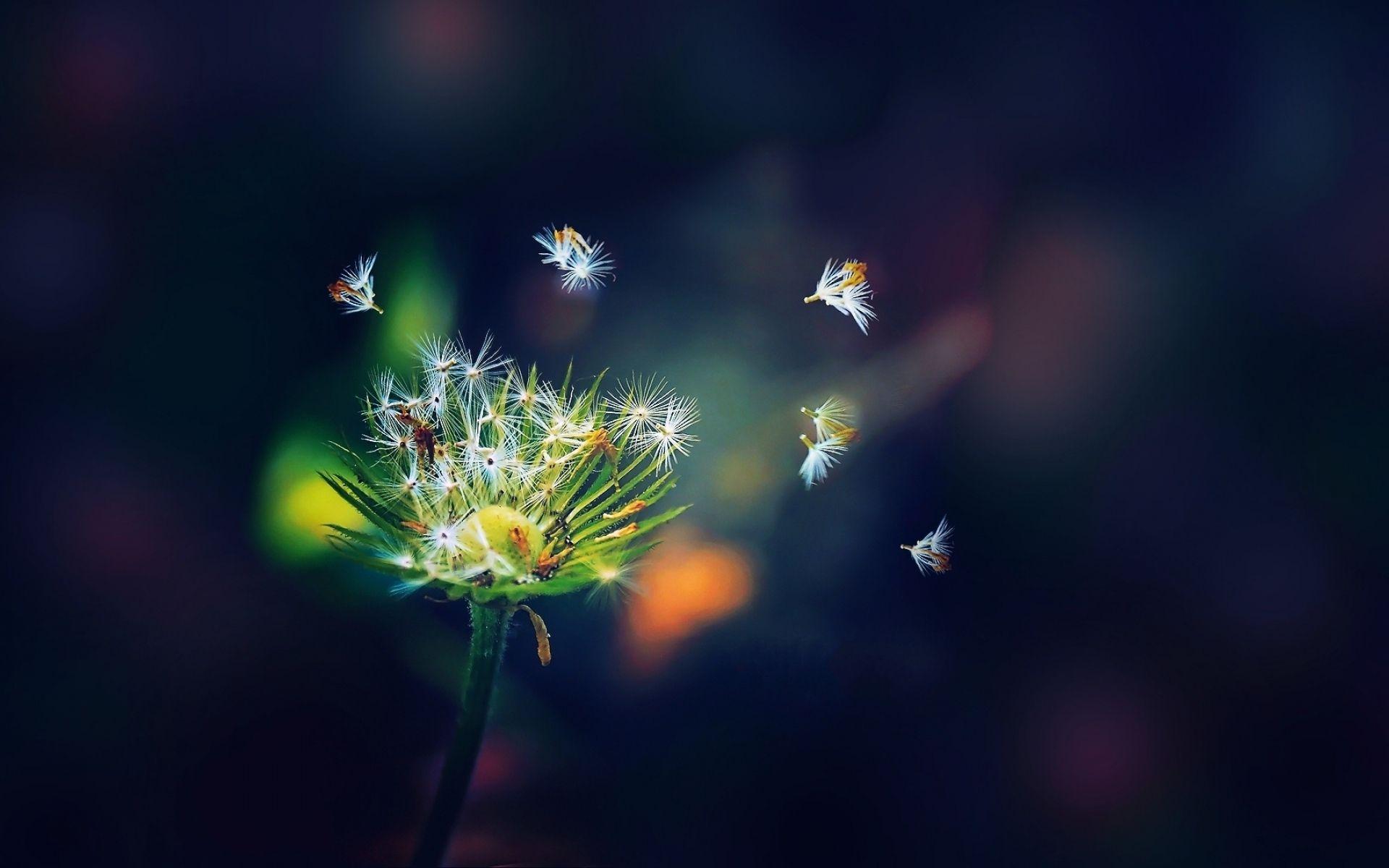 Hình nền hoa bồ công anh tung bay trong gió