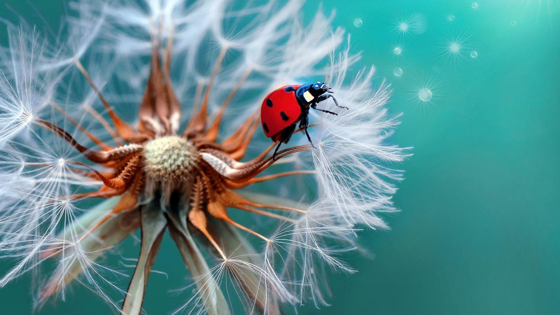 Hình nền hoa bồ công anh và con bọ cánh cam đẹp