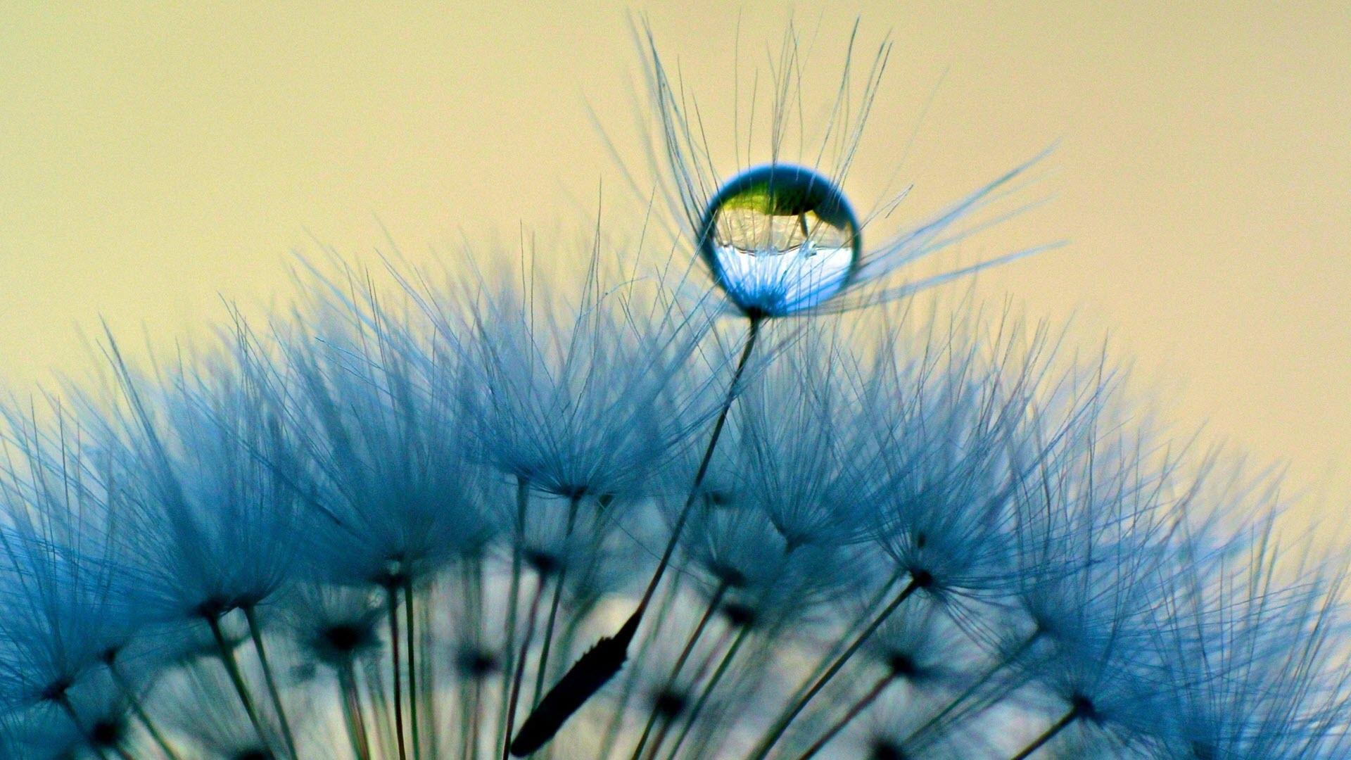 Hình nền hoa bồ công anh và giọt sương