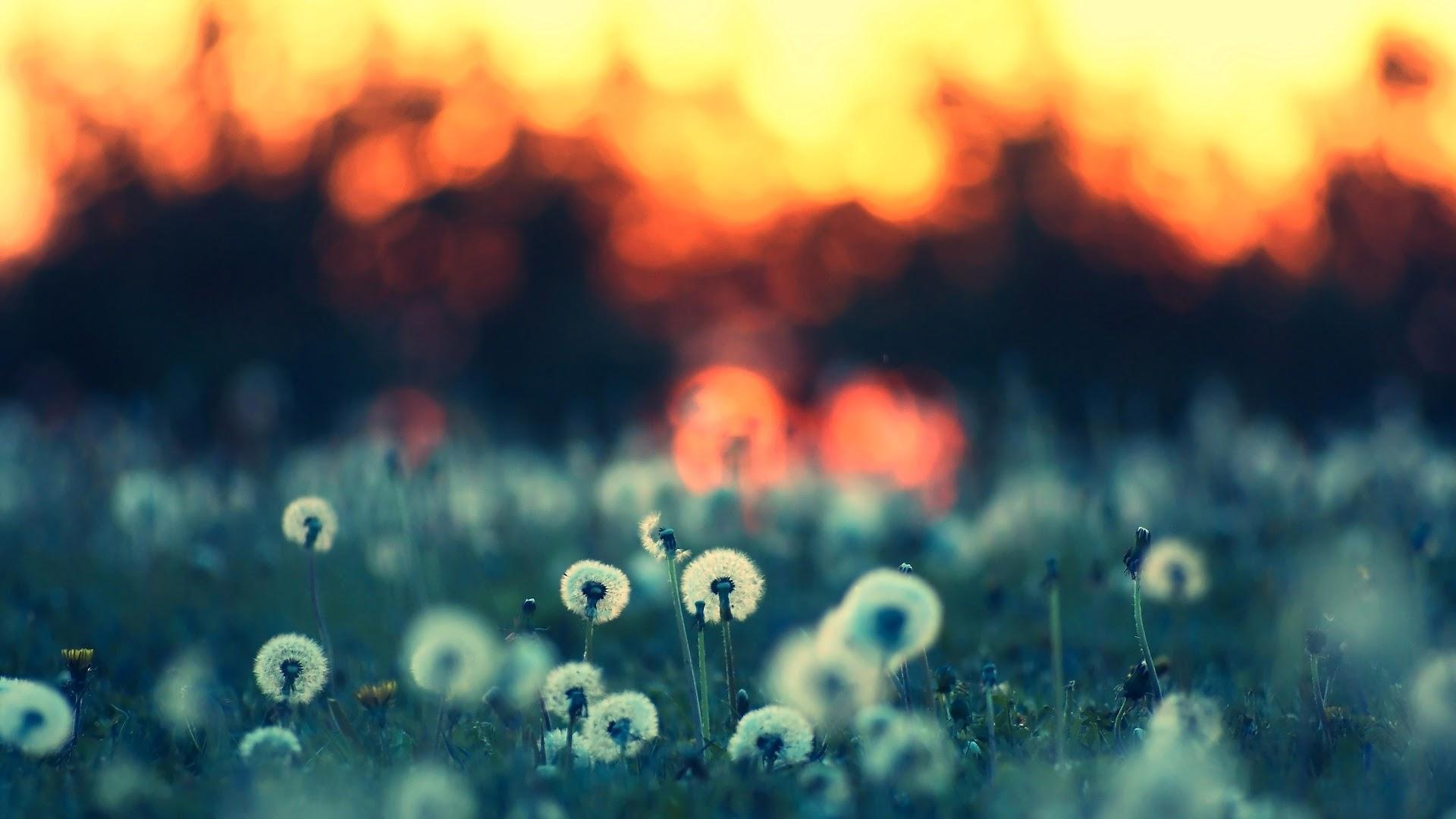 Hình nền hoàng hôn trên cánh đồng bồ công anh