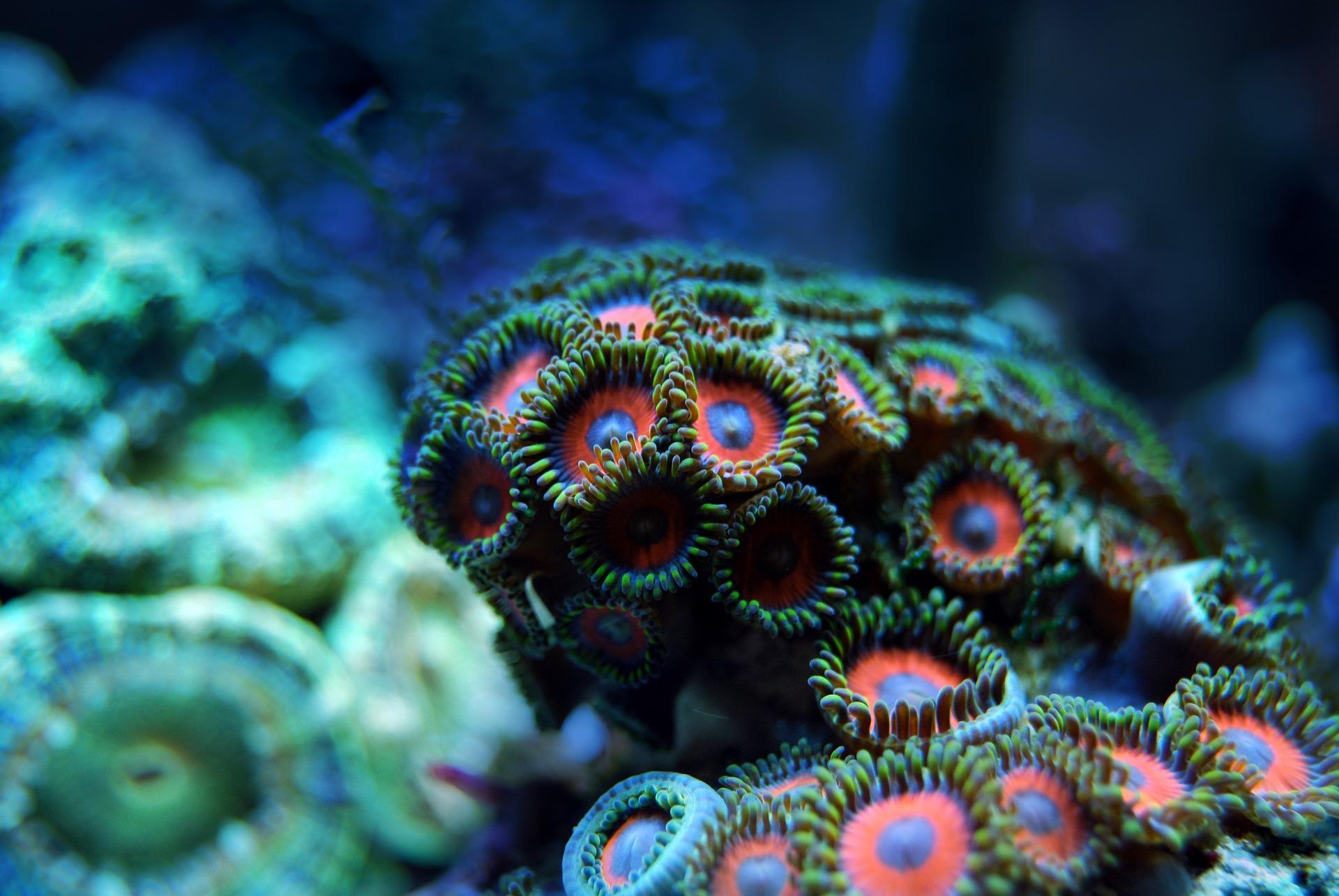 Coral Wallpaper for Desktop