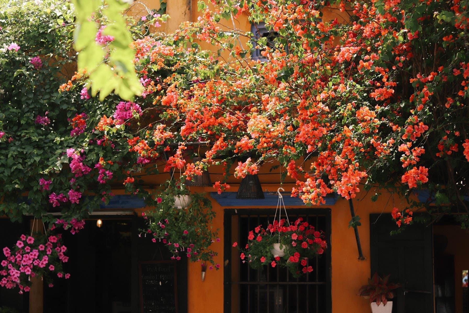Hình ảnh ngôi nhà hoa giấy ở Hội An