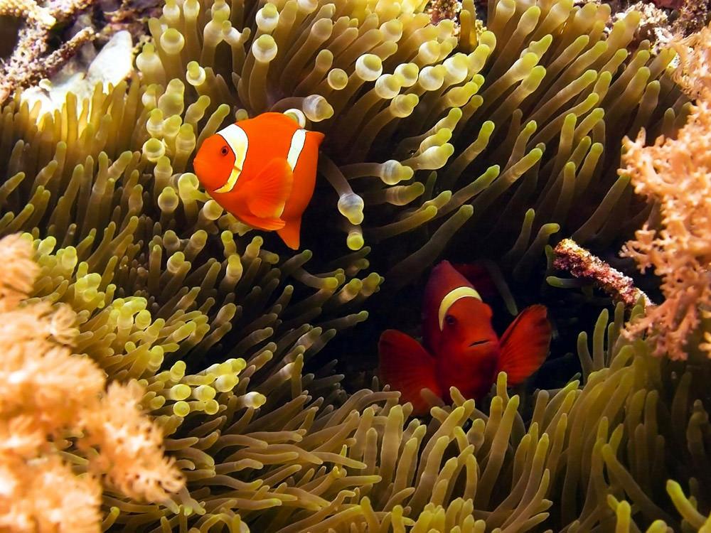 Hình ảnh những chú cá hề và rạn san hô