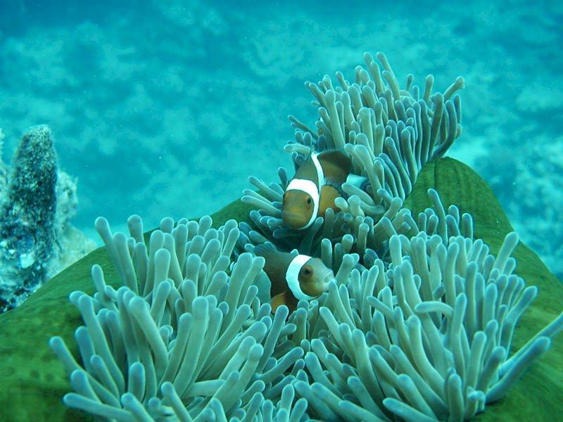 Hình ảnh san hô và những chú cá hề
