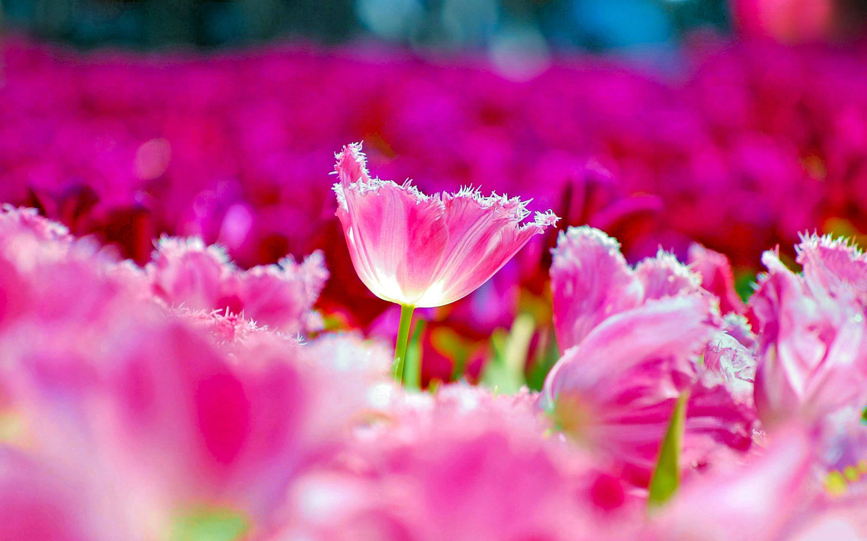 Hình nền hoa Tulip đẹp cho máy tính