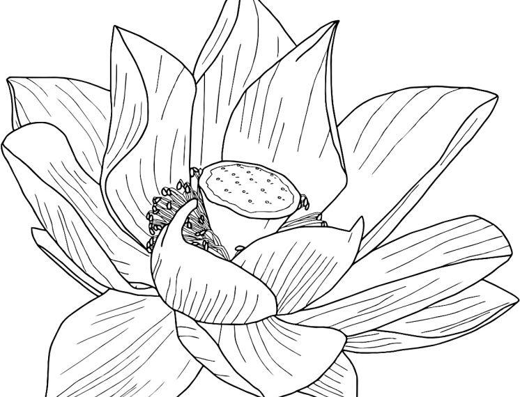 Tranh tô màu hoa sen cực đẹp