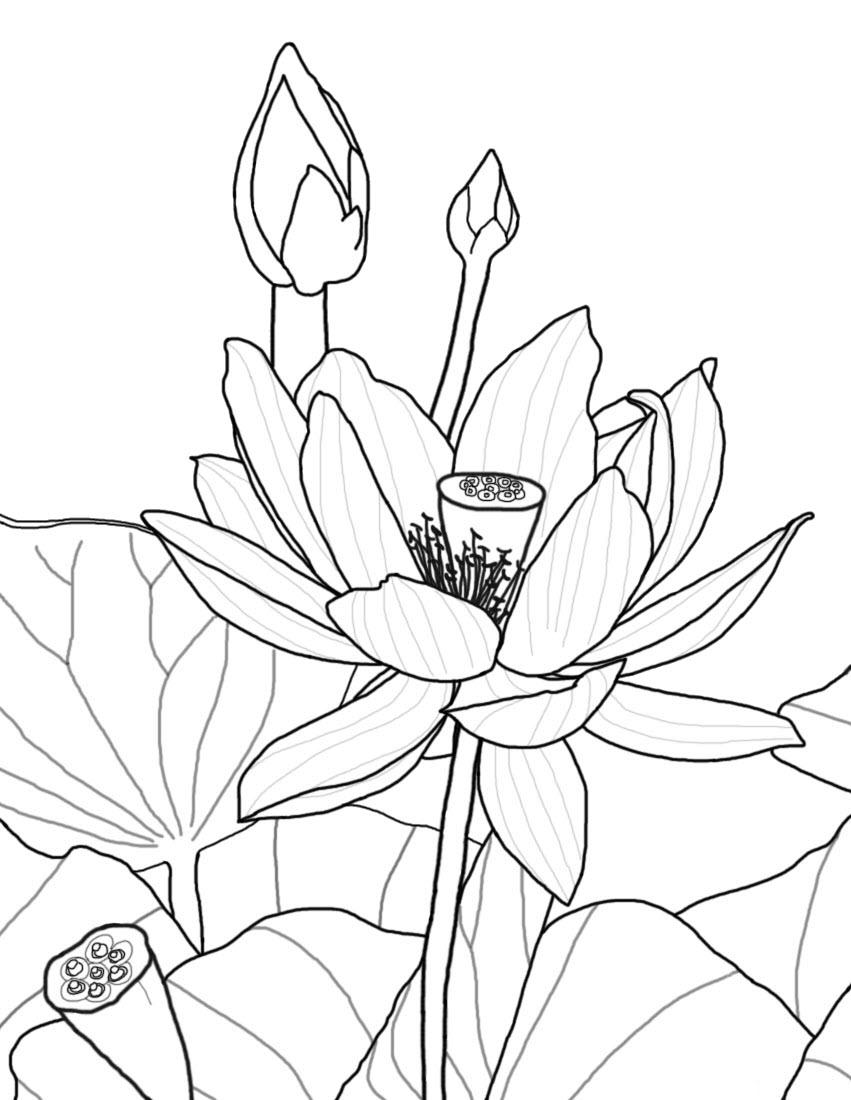 Tranh tô màu hoa sen đẹp, ý nghĩa